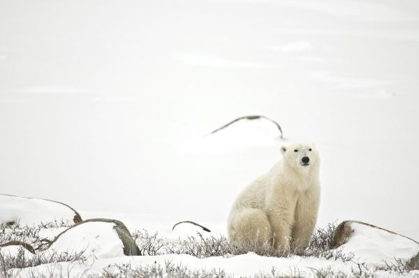 Ours polaire - Churchill - Manitoba - Canada - Commission canadienne du tourisme