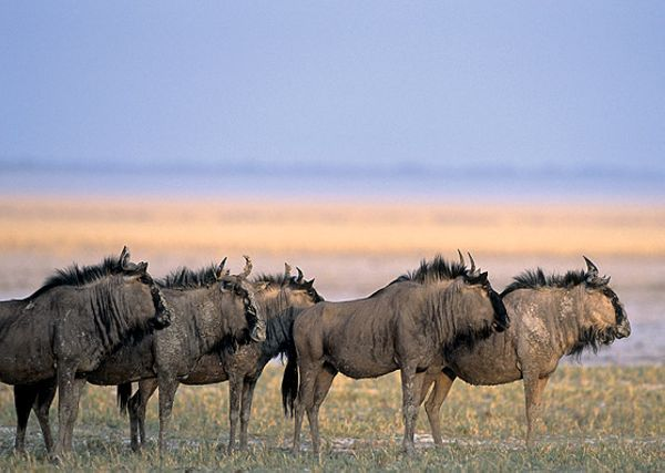 Gnous - Parc National Etosha - Namibie - Gondwana Collection