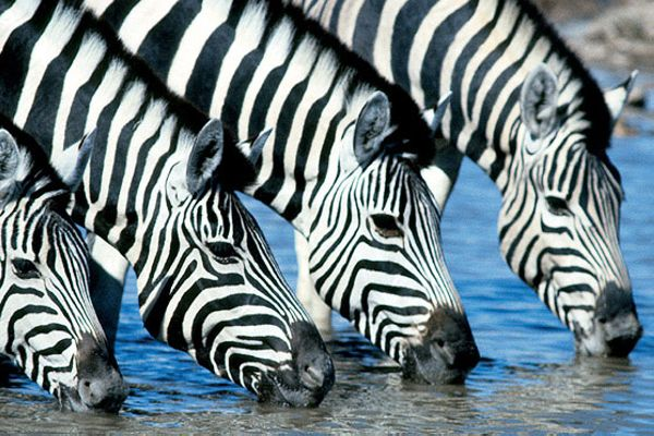 Parc national Etosha - Namibie - Gondwana Collection