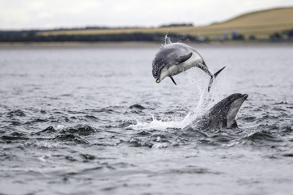 Dauphins sauvages - Moray Firth - Highlands - Écosse - jamie / stock.adobe.com