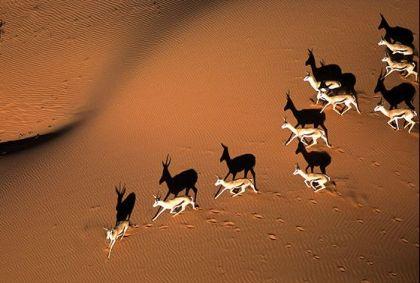 Désert du Kalahari - Springbok - Namibie - Gondwana Collection