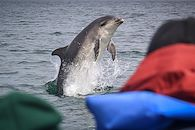 Observation des dauphins dans le Moray Firth - Cromarty - Ecosse - Royaume Uni - EcoVentures