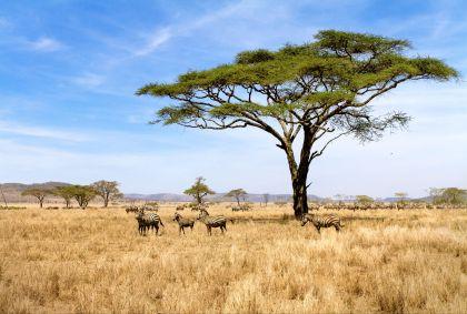 Parc national du Serengeti - Tanzanie - kjekol/fotolia.com