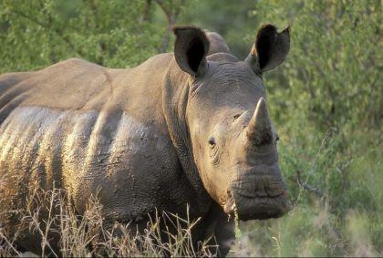 Rhinocéros Blanc - Afrique du Sud - Patrick Le Floc'h