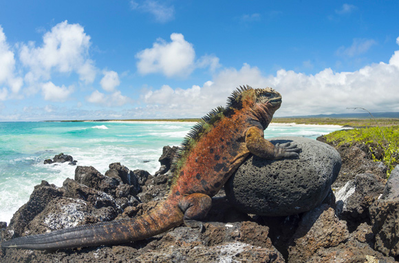 Iguane marin dans les îles Galapagos – Equateur